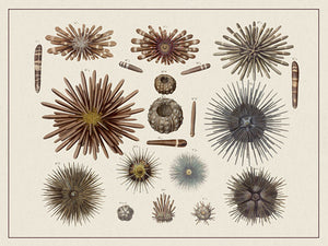 Sea Urchins - Venus Art Prints