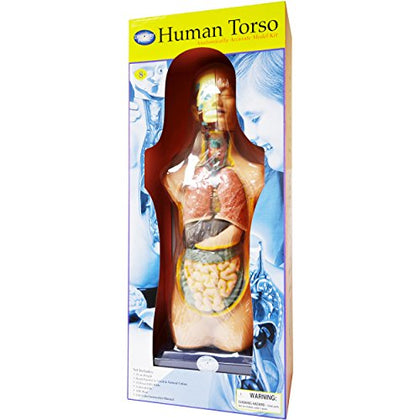 Elenco  Human Torso Model Kit   Large
