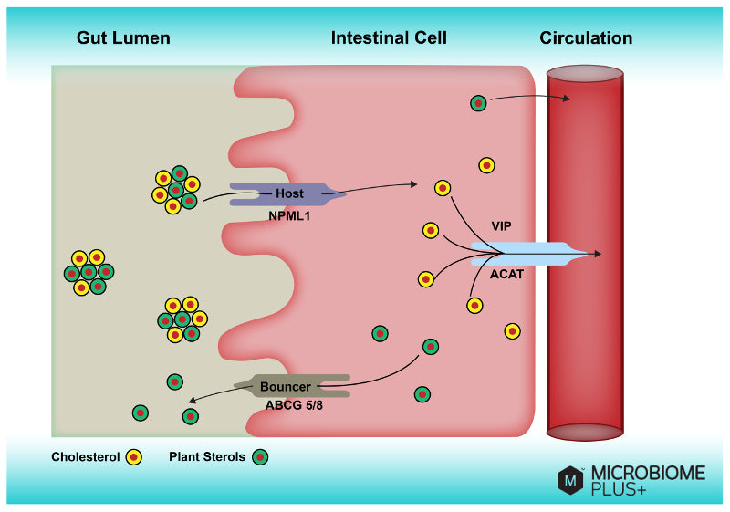 Intestinal Cell Transporters and Plant Sterols