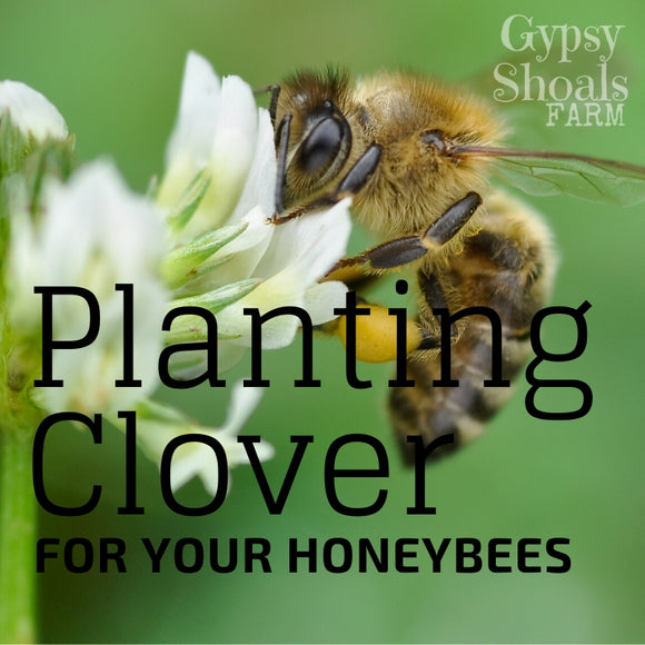 How to plant clover for honeybees beehive honey production