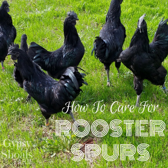 how to remove rooster spurs gypsy shoals farm