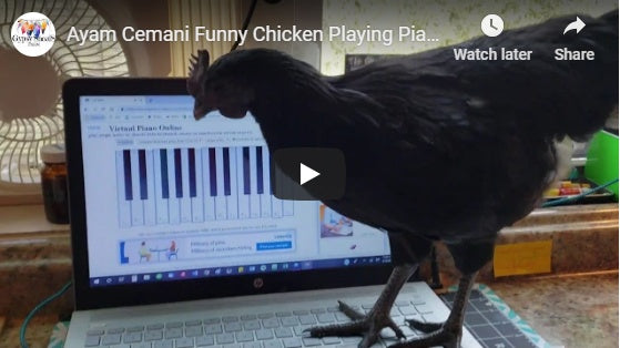 Mistro Mojo the piano playing ayam cemani chicken