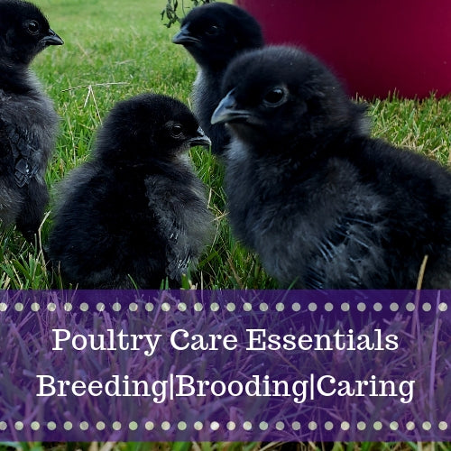gypsy shoals farm ayam cemani breeder chicken care poultry supplies breeding brooding chick care basics