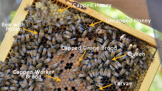 bee brood chamber frame with labelled types