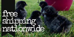 gypsy shoals farm ayam cemani baby chicks for sale free shipping nationwide