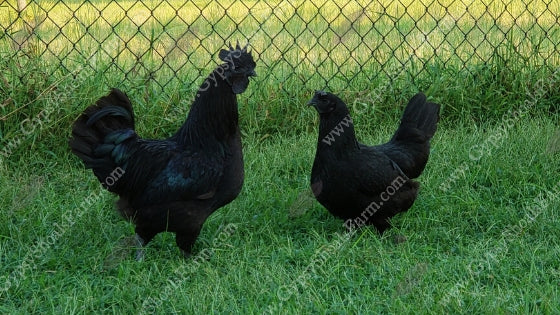gypsy shoals farm ayam cemani hen and rooster all black chicken