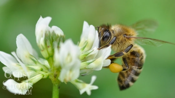honey bee collecting pollen from white clover blossom