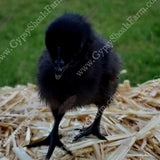 alabama ayam cemani breeder baby chicks for sale gypsy shoals farm copyright 2019