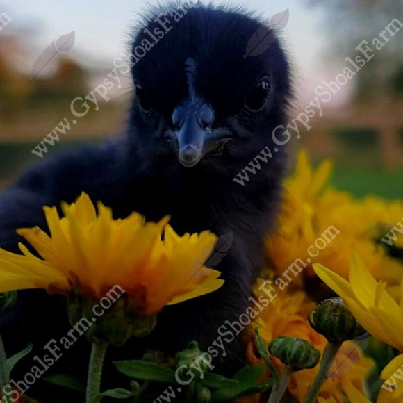 ayam cemani chicks for sale gypsy shoals farm alabama cemani breeder copyright 2019