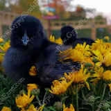 ayam cemani day old chicks for sale gypsy shoals farm alabama cemani breeder copyright 2019