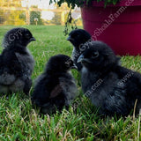 ayam cemani day old chicks for sale gypsy shoals farm alabama cemani breeder show quality copyright 2019