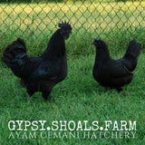 ayam cemani show quality breeding pairs trios for sale
