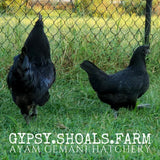 ayam cemani show quality breeding pairs free shipping
