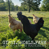 ayam cemani chickens for sale show quality breeding stock