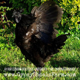 Ayam Cemani Mature Roosters