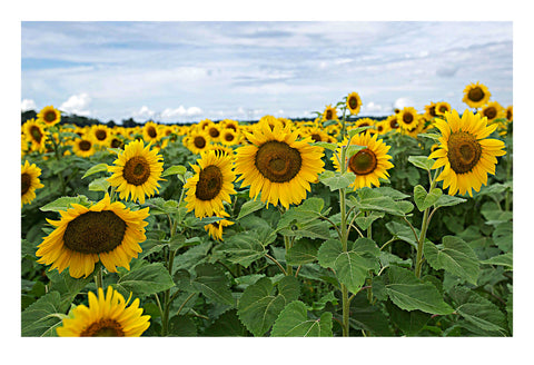 'Fields of Sunshine' - Fine Art