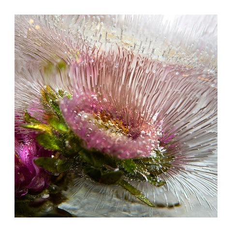 'Flor - Essence' - Frozen Flowers