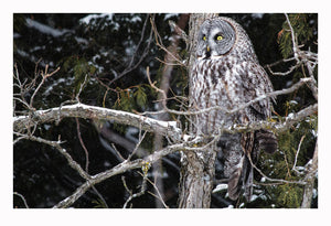 'Great Grey Owl' - Owls