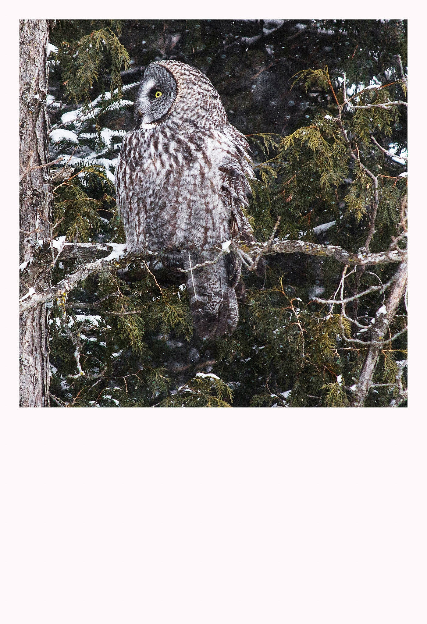 'Great Grey Owl II' - Owls