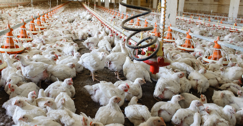 CO2 Meter and Carbon Dioxide and Ammonia Monitoring in Poultry Industries