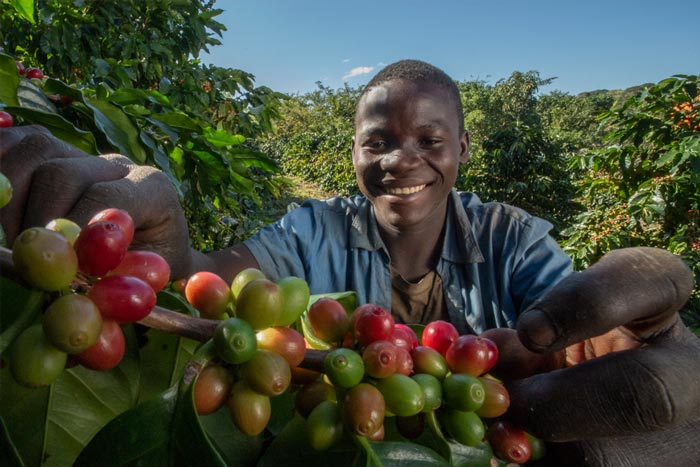Man holding coffee fruit