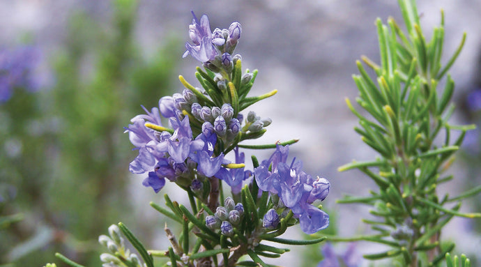 Rosemary Oil Benefits – According To Science
