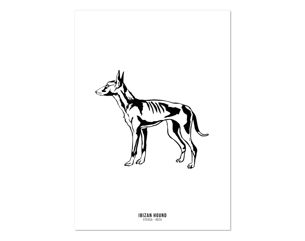 Black and white print of an Ibizan Hound Podenco from Ibiza.