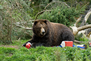 What Happens When A Bear Gets To Your Lunch First?