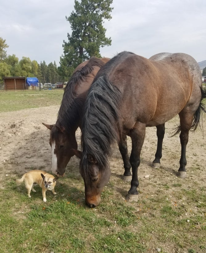 horses and dog on lavender farm