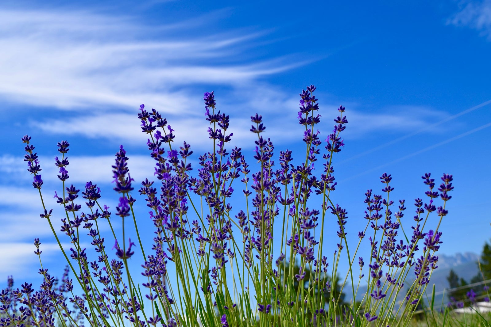 lavender plants with montana big sky in background