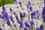 lavender plant with a bee