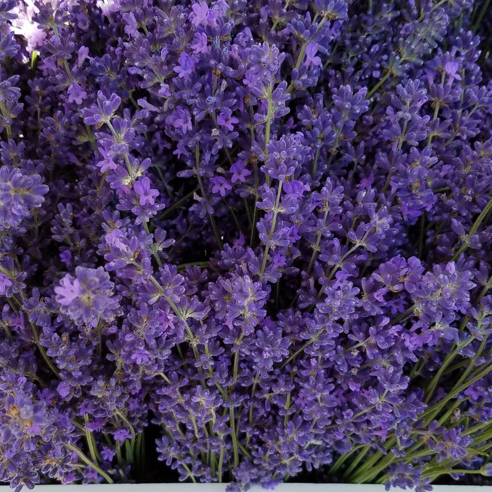 deep purple lavender