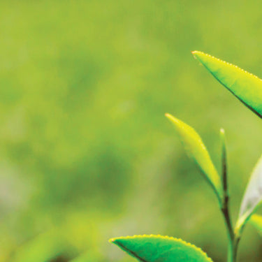 #1 What Is Tea?: <br> All About The Tea Plant