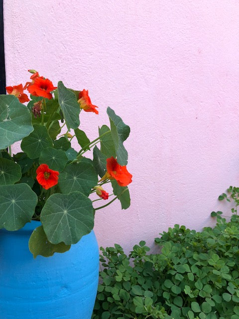 Blue flower pot with red flowers and green leaves in front of pink wall with green leaves.