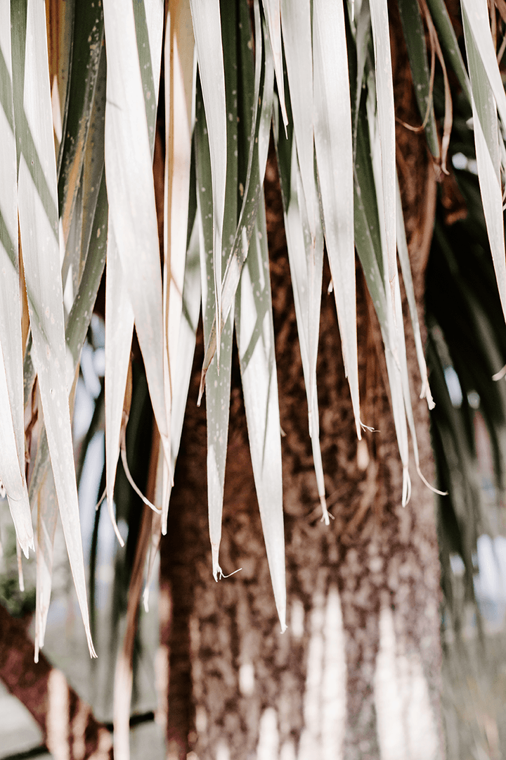 Free Styled Stock Photo I Cordyline plant | nature I floral - Grand & Lovely Stock styled photography desktops lifestyle screens desktops stationary