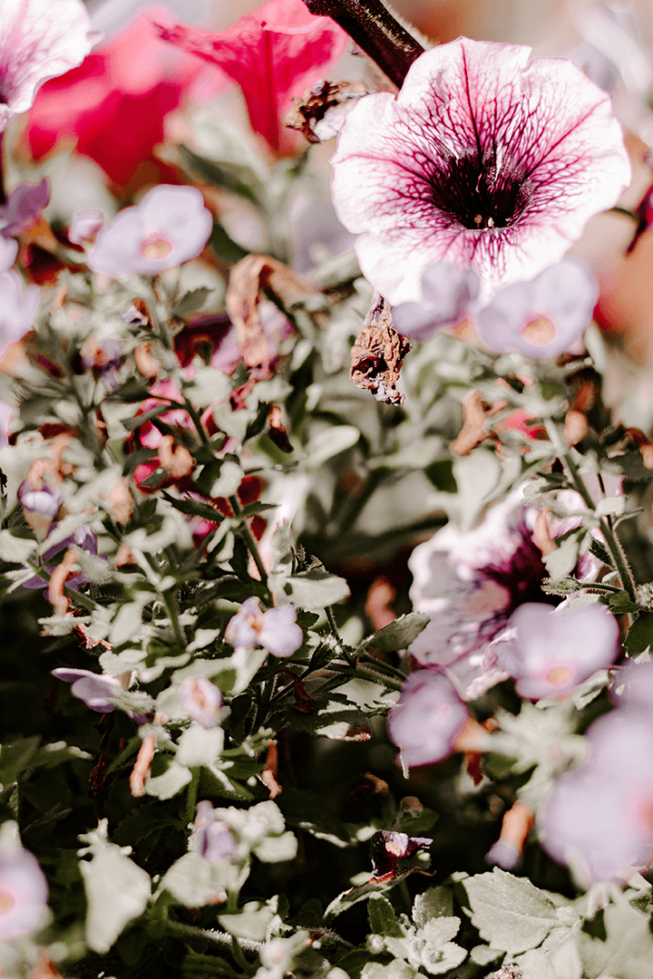 FREE Styled Stock Photo I Petunia stock photo | Spring flowers - Grand & Lovely Stock styled photography desktops lifestyle screens desktops stationary