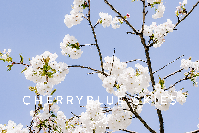 Premium Styled stock photography I Nature Image |Flowers | White Cherry Blossoms | Blue Sky | Blog Image - Grand & Lovely Stock styled photography desktops lifestyle screens desktops stationary