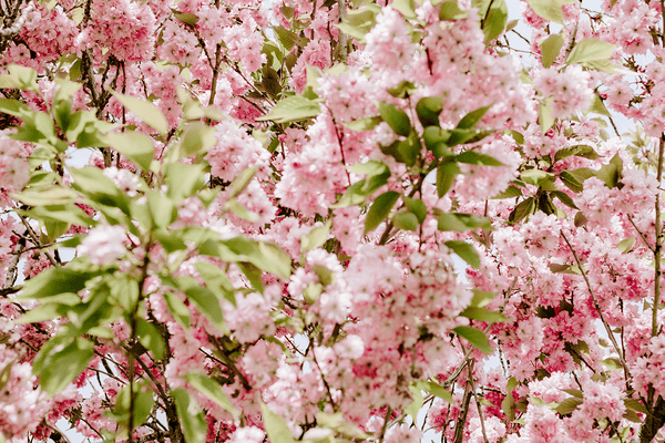 Styled Stock Photography | #Lifestyle #Blogging I Cherry blossoms on the river | nature I floral | flowers |Set of 4 Images