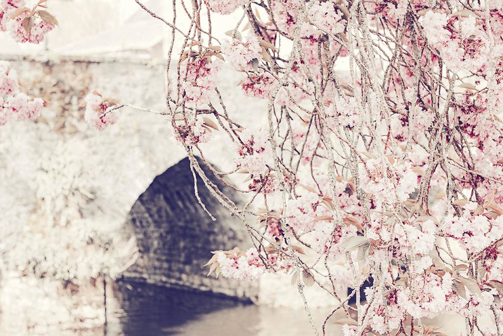 #Lifestyle I Magnolia cherry blossom tree river stock photo | nature I floral | Single Photo - Grand & Lovely Stock styled photography desktops lifestyle screens desktops stationary