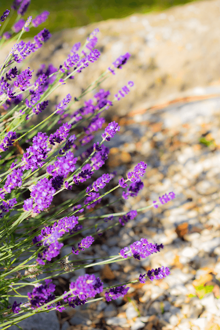 FREE styled stock photos | Set of 3 Lavender flowers | nature I floral - Grand & Lovely Stock styled photography desktops lifestyle screens desktops stationary