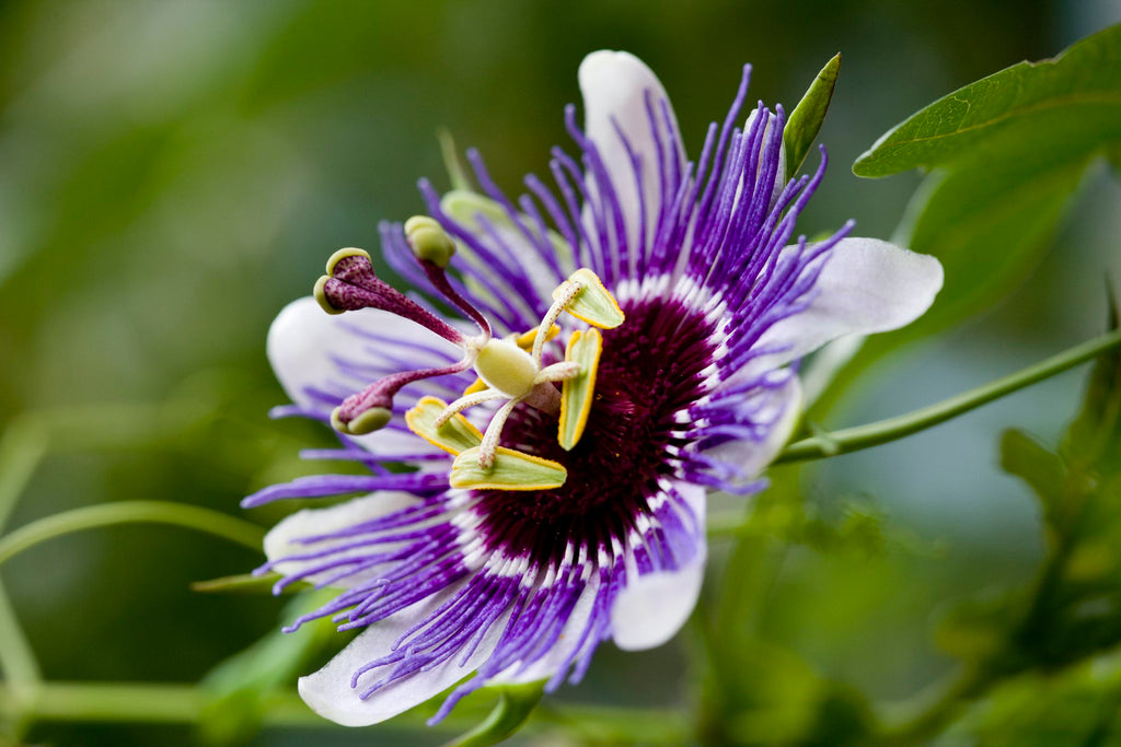 Derma Organics Blog Anti-anxiety herbs that boast skin benefits Passion Flower
