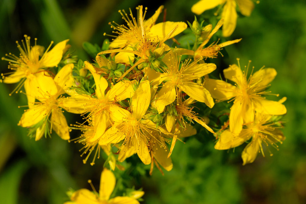 Derma Organics Blog Anti-anxiety herbs that boast skin benefits St Johns Wort