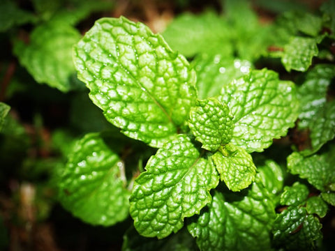 image of mint leaves