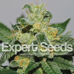 White Gold - Expert Seeds