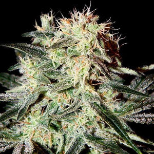 Arjans strawberry haze - Greenhouse seed company