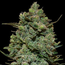 Load image into Gallery viewer, Cookies kush - Barneys farm
