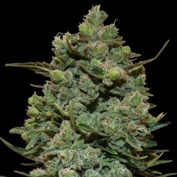 Cookies kush - Barneys farm