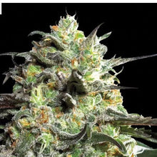 Load image into Gallery viewer, Liberty Haze - Barneys Farm