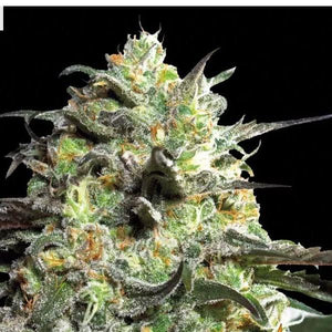 Liberty Haze - Barneys Farm