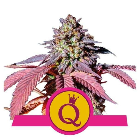 Purple Queen - Royal Queen Seeds